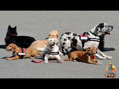 TOP #100: Therapy Dogs vs Service Dogs - What's the Difference?