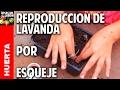 Cómo reproducir lavanda por esquejes - Reproducing Lavender from cuttings (english captions)
