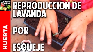 Cómo reproducir lavanda por esquejes - Reproducing Lavender from cuttings (english captions)