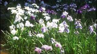 Iris Field at Meiji Jingu Inner Garden (明治神宮内苑 菖蒲田)