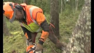 Arbete i stormfälld skog - ny version