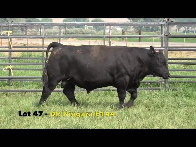 Black Gold Bull Sale Lot 47