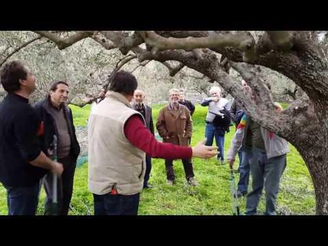 Πως γίνεται το κλάδεμα ανανέωσης της ελιάς