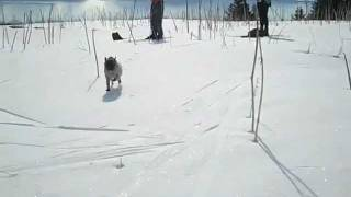 Spring Skiing With Mouse The Pug