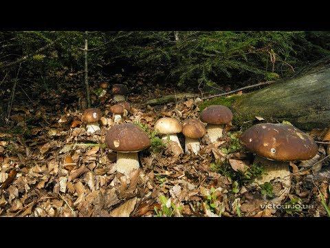 белый гриб шампиньоны
