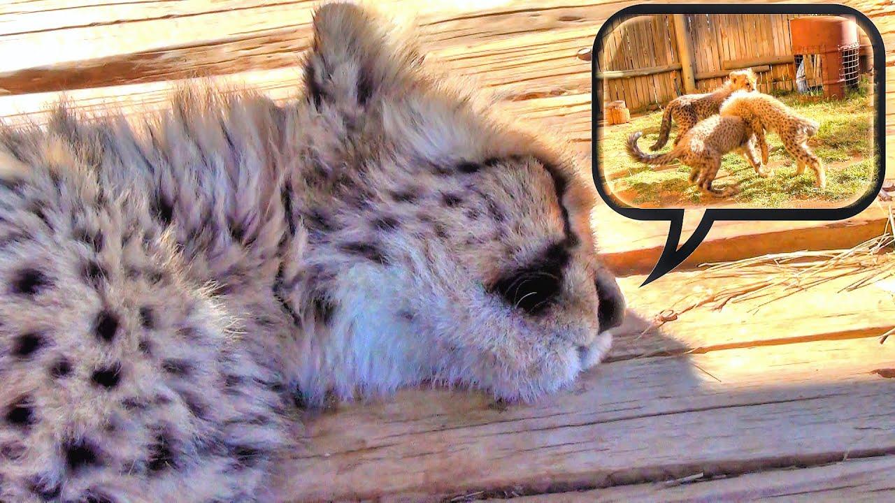 Do Cheetah Cubs Dream? Cute Baby Cat Falls Asleep & Runs ... Cute Cheetah Cubs