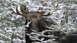 Moose Prints Gallery Two of Maine's Most Prolific Wildlife Photographers thumbnail