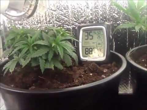 1st grow cfl closet cannabis grow youtube. Black Bedroom Furniture Sets. Home Design Ideas