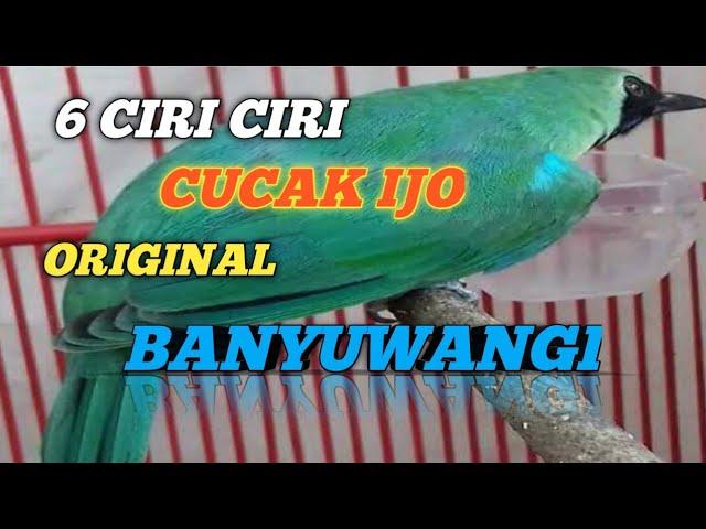 Ciri Ciri Cucak Ijo Banyuwangi Youtube