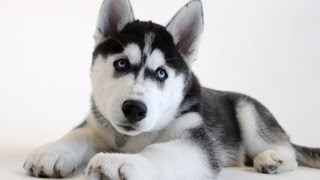 New UConn Husky Puppy