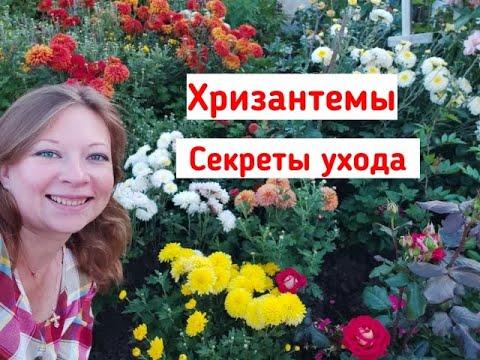 Хризантемы в Подмосковье! Хризантемы: посадка и уход. Секреты выращивания! Посадка хризантемы
