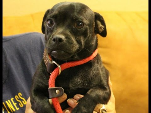 This Cute Little Pugdachshund Mix Needs A New Family Youtube