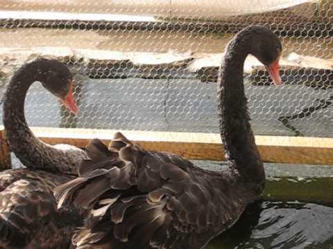 Черни лебеди
