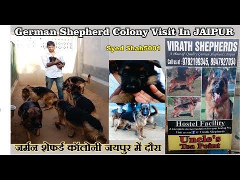 25 pure German shepherd dogs Kennel visit Jaipur
