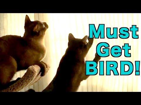 Burmese Cats Chase Bird Shadows! Cute & Funny!