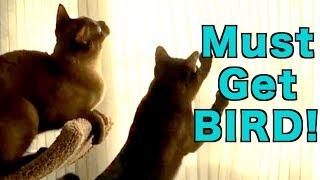 Burmese Cats Play with Bird Shadows! Cute & Funny!