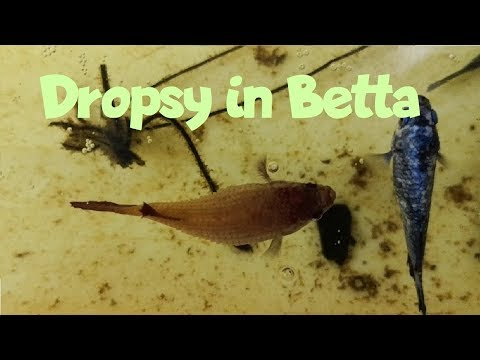 Dropsy In Betta