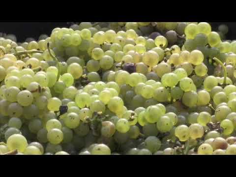 Druivenoogst Wijngaard Hoog Beek & Royen
