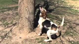 Dukes Stylish Ace Coon Hunting Training