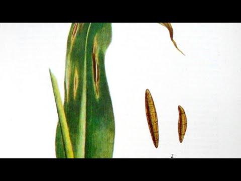Болезни кукурузы, меры борьбы