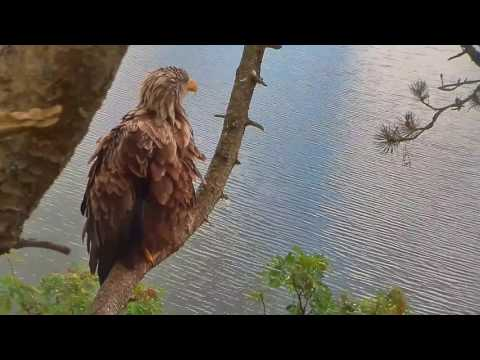 Smola Norway Eagles Nest Cam ~ Baron Blue Waiting For Solo 7.12.17