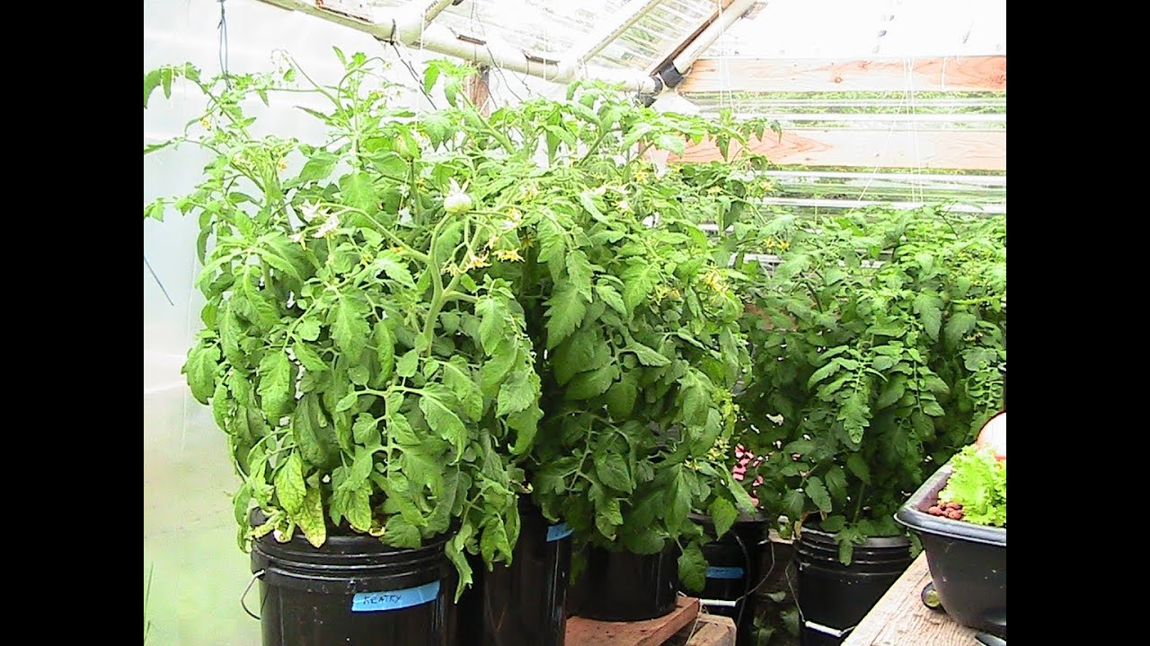 Kratky method dwc compost tea hydroponics 3 hydroponic tomatoes youtube - Hydroponic container gardening ...