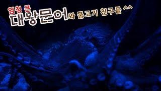 [대왕문어] 부산 씨라이프 아쿠아리움 엄청 큰 대왕문어…