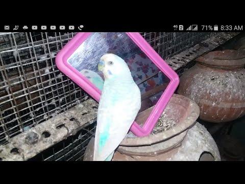 Parakeet singing to mirror | Australian parrots sound