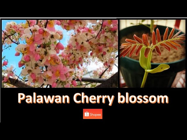 Palawan Cherry Blossom Balayong Growing From Seeds Youtube