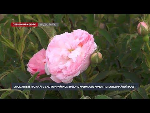НТС Севастополь: В Крыму собирают урожай лепестков роз