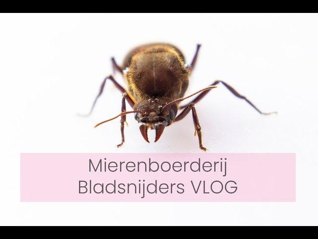 Mierenboerderij - BLADSNIJDERS - Atta