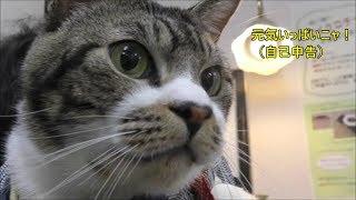 動物病院へ通う猫リキちゃん☆猫の鳴き声にドギマギ・・おうちに帰って来てまずすることはコレ!【リキちゃんねる 猫動画】Cat videos キジトラ猫との暮らし