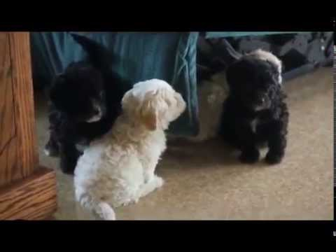 Havapoo Puppies For Sale Youtube