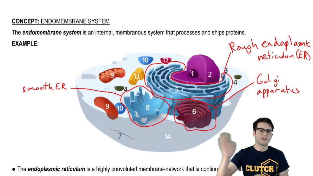 Endomembrane system overview also youtube rh