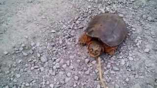 Черепаха убийца!!!Жесть!  Snapping Turtle Attacks!