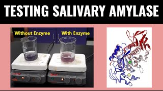 Experiment with Salivary Amylase Enzyme - Mr Pauller
