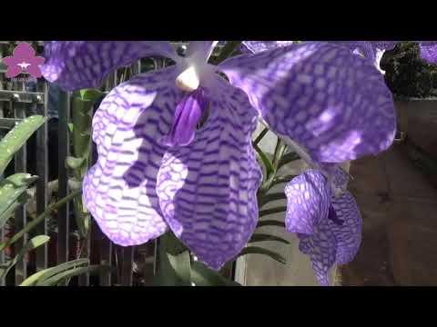 Hoa Lan TV: Vanda Rừng Khoe Sắc Tuyệt Đẹp Trong Nắng Vàng Mộc Châu   Foci