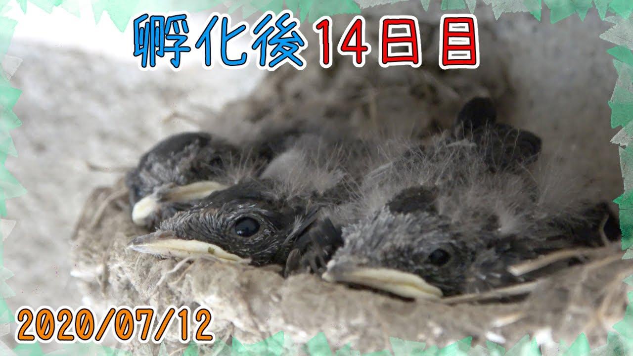 孵化後14日目!雛たち少し落ち着く。2020/07/12