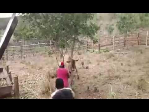 Vaca brava