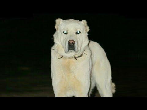 Anadolunun Beyaz Aslanı AKBAŞ - AKBASH the white Lion of Anatolian