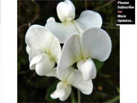 White Lathyrus | Best Of Beautiful White Folwer Image Set & Ideas - Phula Pics