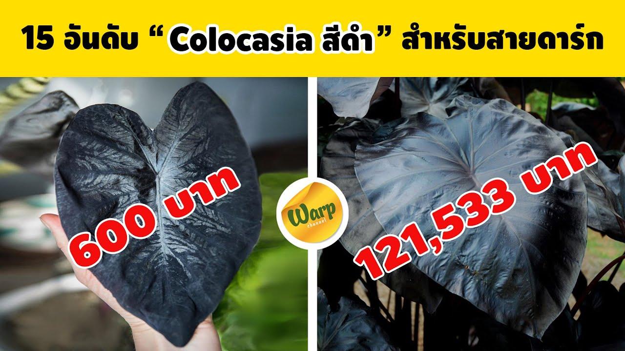 15 อันดับ Colocasia สีดำ ราคาตั้งเเต่หลัก 100 บาทถึง หลัก 100,000 บาท  สำหรับสายดาร์ค ห้ามพลาด
