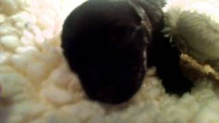 Scottish Terrier puppy sleeps with her toy