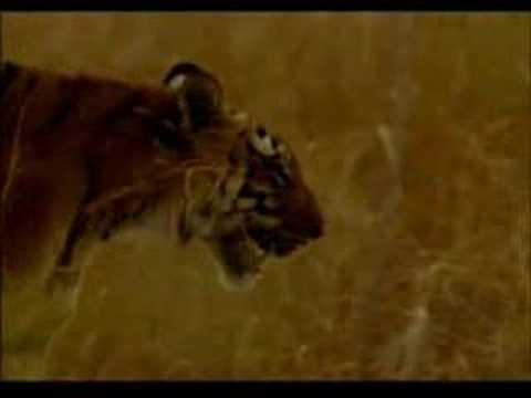 In the Wild: Tigress attacks Elephant ( Good Quality )