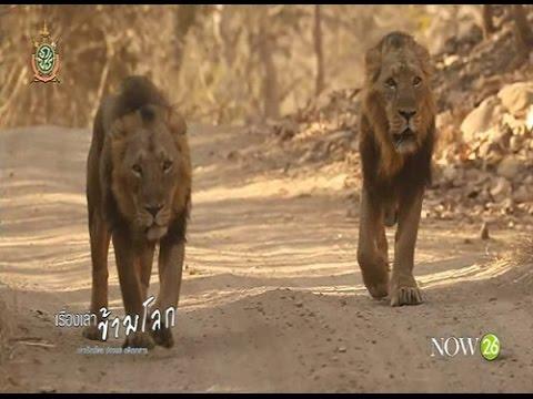 สิงโตเอเซีย Asiatic Lion (10-6-59)