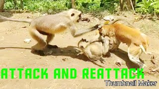 Group of dog attacking and bite a child langoor and group of kantoor protect to save their child
