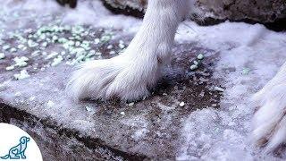Dog Paw Tips F๐r Winter - Professional Dog Training Tips