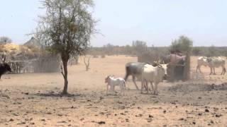 peul: bataille entre 2 vaches