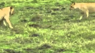 Прикольное видео мангуст отбился от 3 львов