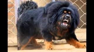 топ 10 самых сильных собак в мире!!